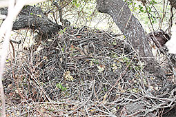 Woodrat nests dot the reserve and are especially abundant beneath oak trees. Photo by Kathleen M. Wong.