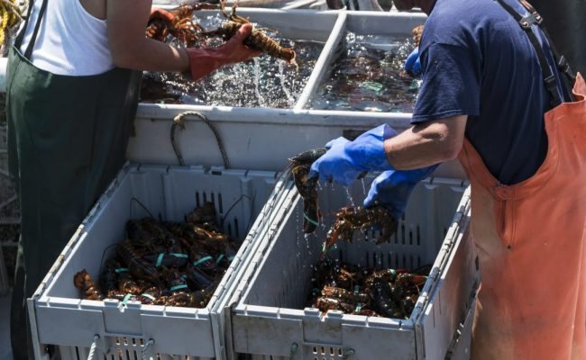 Two fishermen in Maine are sorting the fresh lobsters that they caught in to separate bins by size just before they sell them at market.