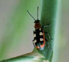 Common Asparagus Beetle, photo by Jeff Hahn