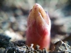 New Asparagus Spear