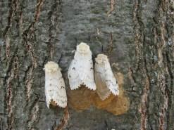 Gypsy moth females laying eggs, psu.edu,Credit- Katriona Shea, Penn State