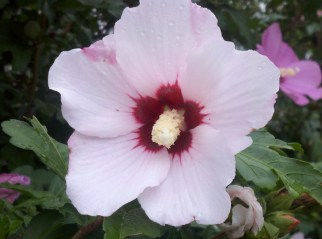 Rose of Sharon 3