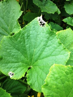 squash beetle damage