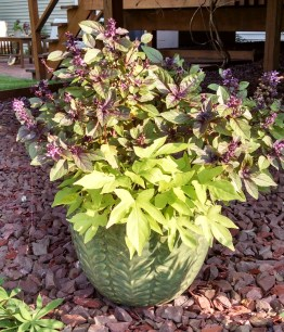 Purple basil1