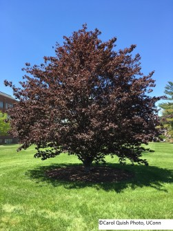 copper beech 2017