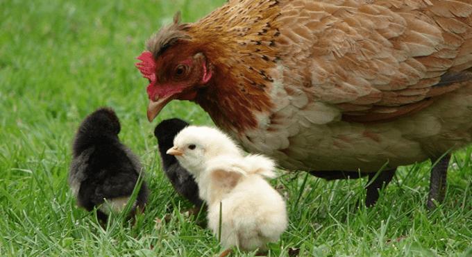 Ciri-ciri Ayam Betina