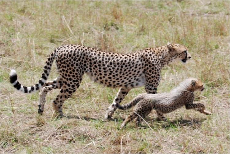 Гепард ведет гепардёнка на охоту. Фото