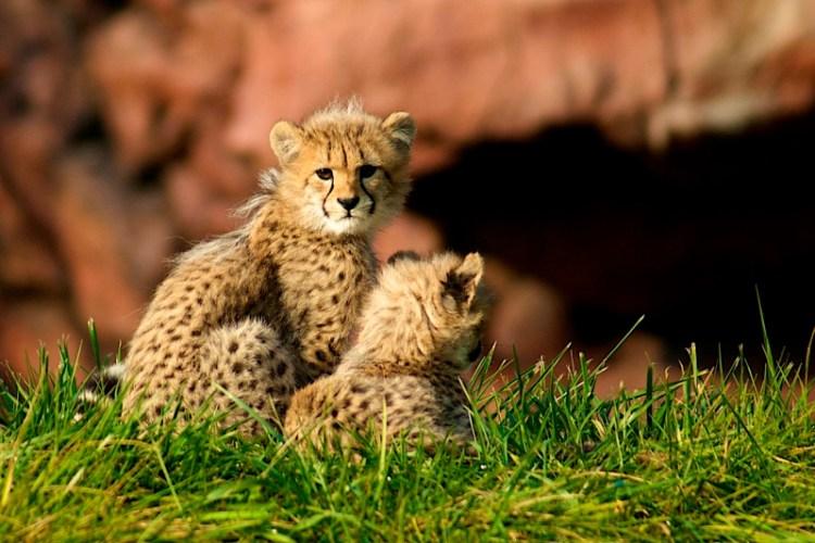 Гепардята. Фото