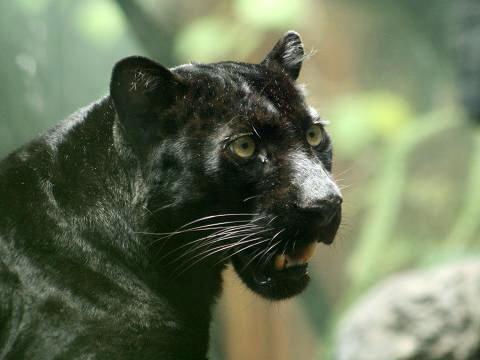Морда черной пантеры. Фото