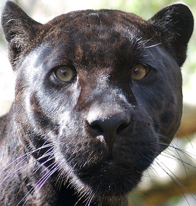 Черная пантера вблизи. Фото