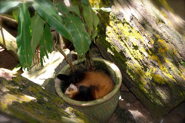 Хорек спит в горшке с деревом. Фото