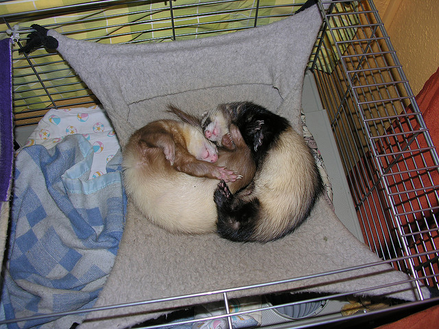 Два хорька в гамаке. Фото