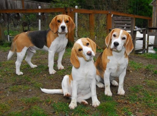 Породы охотничьих собак с фотографиями и названиями ...