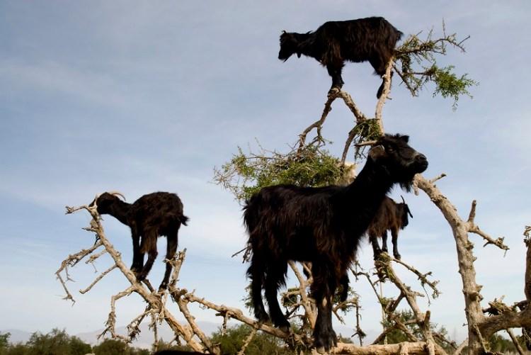 Козы, пасущиеся на деревьях, Марокко. Фото