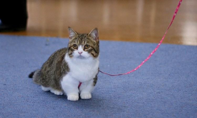 Манчкин - порода кошек с короткими лапами. Фото
