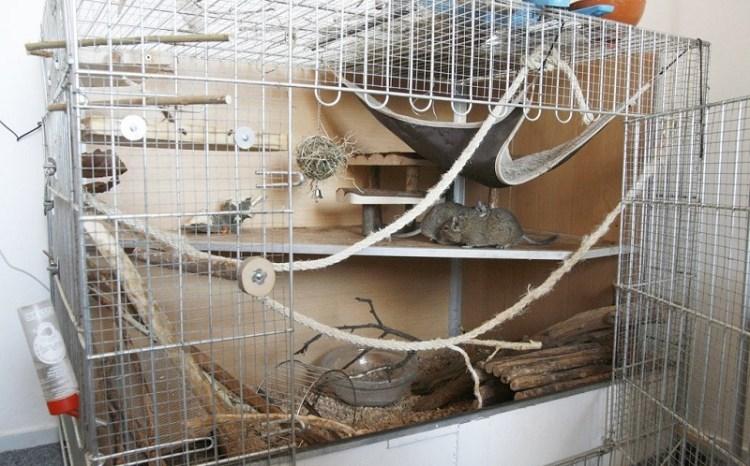 Чилийская белка дегу. Фото