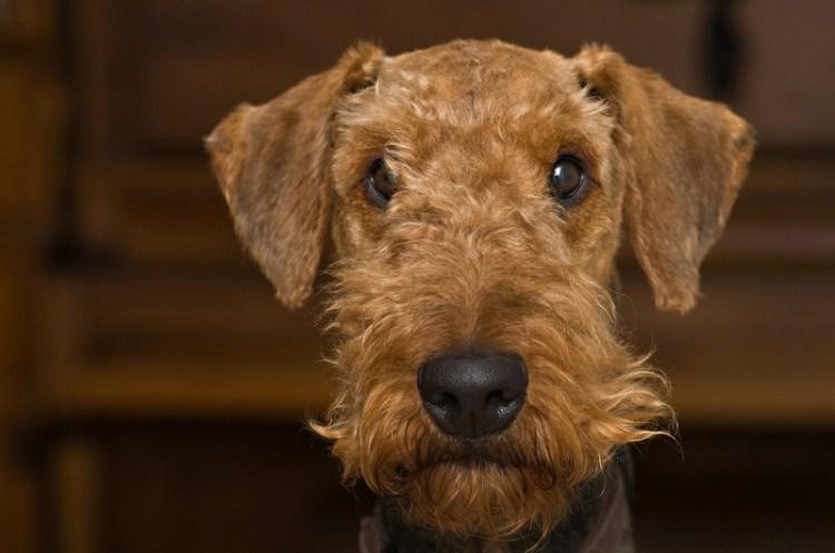 Порода собак эрдельтерьер. Фото