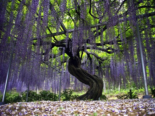 Самая крупная глициния в парке Асикага, Япония. Фото