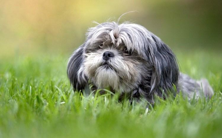 Порода собак ши-тцу. Фото