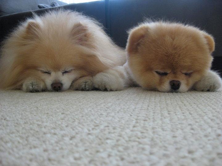 Померанский шпиц Бу и подружка спят. Фото
