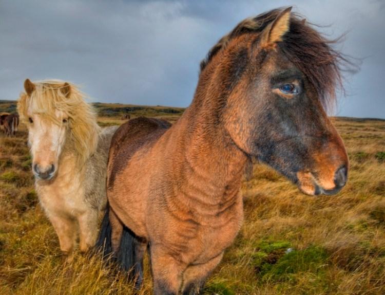Исландские пони. Фото