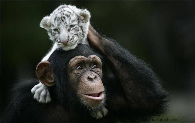 Белый тигренок на плечах у обезьянки. Фото
