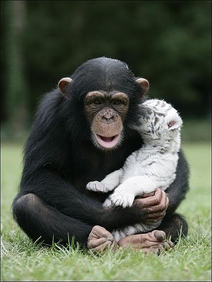 Шимпанзе Аджанта обнимает белого тигренка. Фото