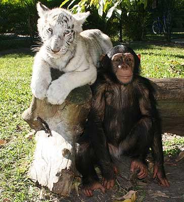 Идиллическая картина - шимпанзе с тигренком. Фото