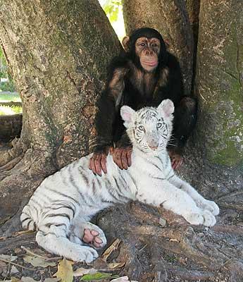 Мама-шимпанзе с сыном-тигренком. Фото