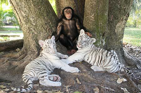 Подросшие тигрята с шимпанзе Аджантой. Фото