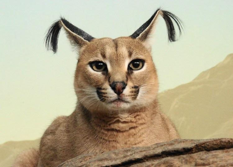 Каракал (степная рысь). Фото / Caracal photo