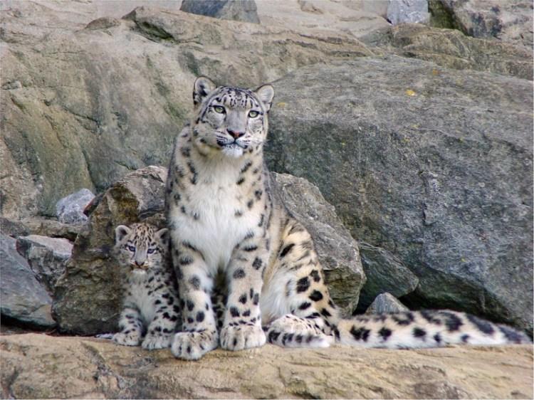 Взрослый снежный барс (ирбис) и барсёнок. Фото / Snow Leopard & cub. Photo