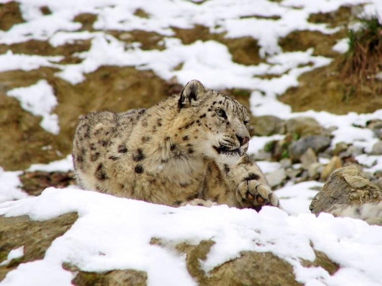 Cнежный барс (ирбис) лежит на снегу. Фото / Snow Leopard. Photo