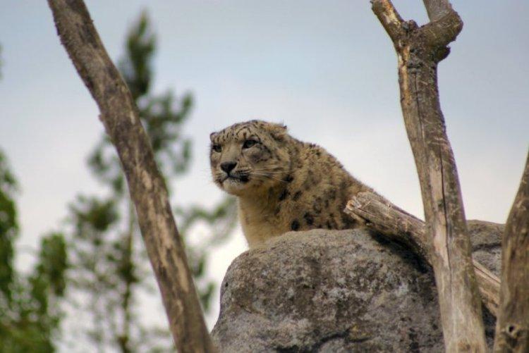 Снежный барс (ирбис) готовится к прыжку. Фото / Snow Leopard. Photo