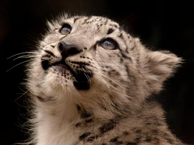 Cнежный барс (ирбис) смотрит вверх. Фото / Snow Leopard. Photo