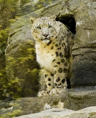 Cнежный барс (ирбис) выходит из пещеры. Фото / Snow Leopard. Photo