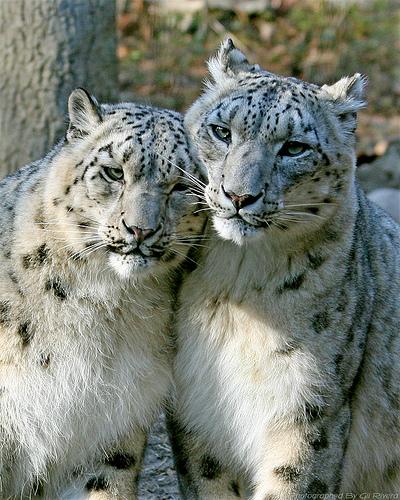 Любовь снежных барсов (ирбисов). Фото