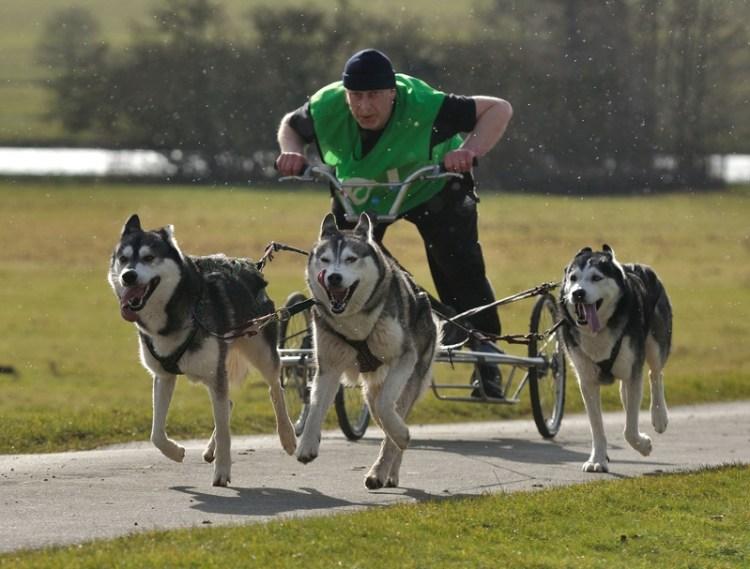 Велоупряжка с собаками породы сибирский хаски. Фото