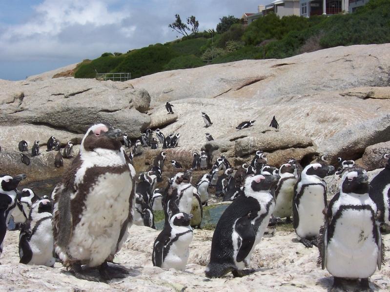 африканские очковые пингвины в Бухте валунов (ЮАР). Фото