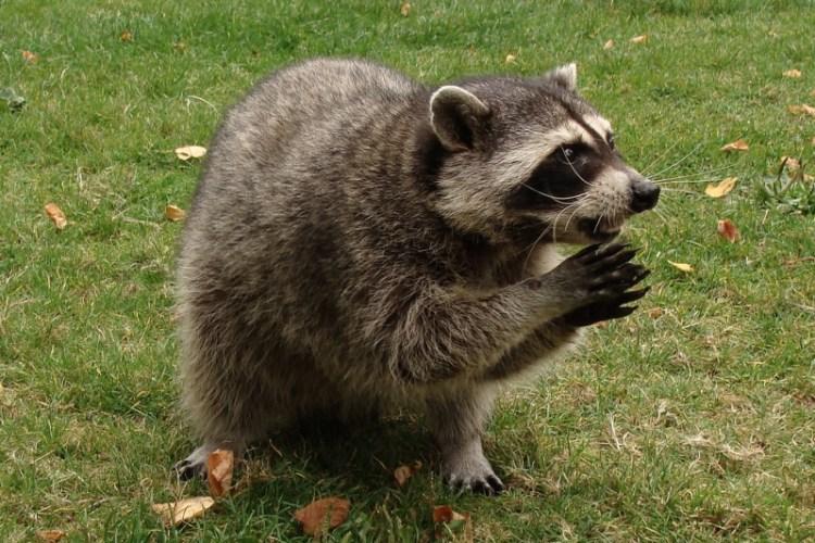 Енот умоляет покормить его. Фото