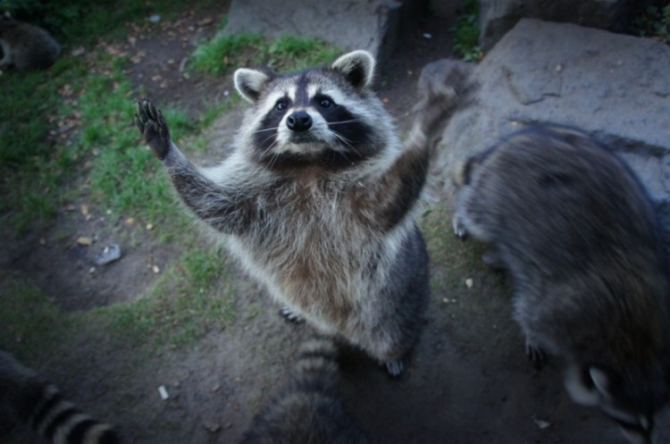 Енот просит еды на задних лапах. Фото