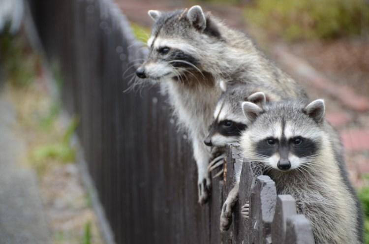 Еноты-полоскуны лезут через забор. Фото