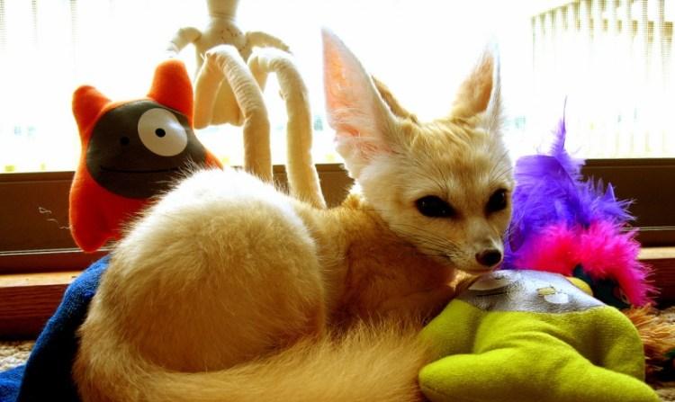 Домашняя лиса фенек с игрушками