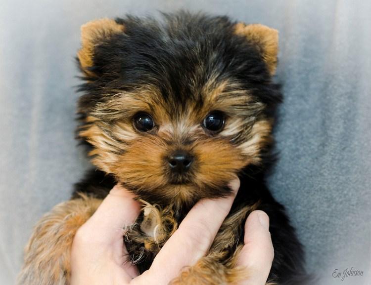 Красивый щенок йоркшира. Фото
