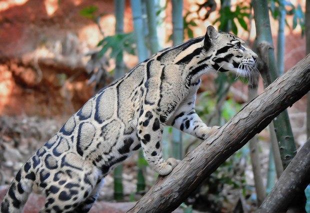 Дымчатый леопард. Остров Калимантан. Малайзия