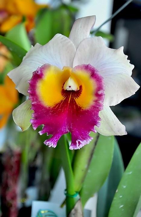 Орхидея острова Борнео. Фото