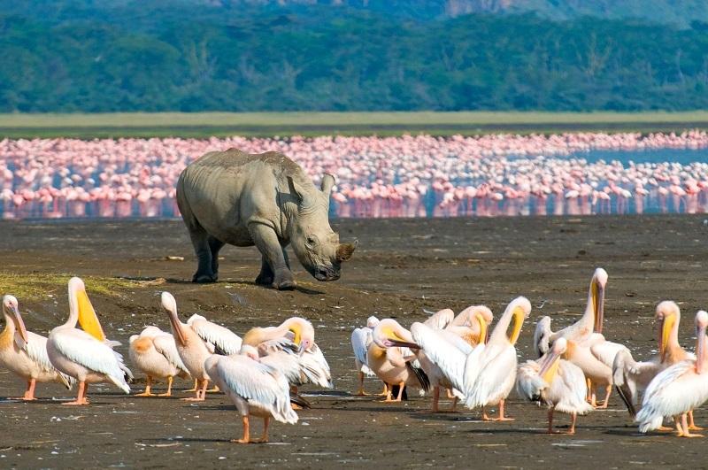 Национальный парк Озеро Накуру в Кении. Пеликаны. Фото