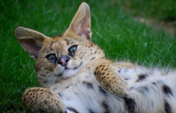Новости, обзоры, факты...: Африканская кошка сервал