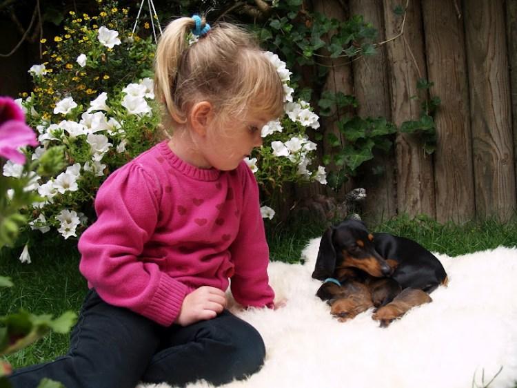 Порода собак кроличья такса. Фото с девочкой