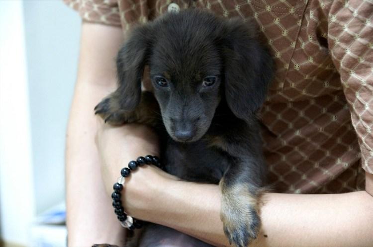 Порода собак кроличья такса. Черный щенок. Фото